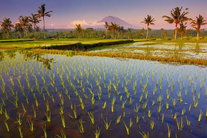 Bali-Rice-field-shoots-and-volcano-PS14-copy2.jpg