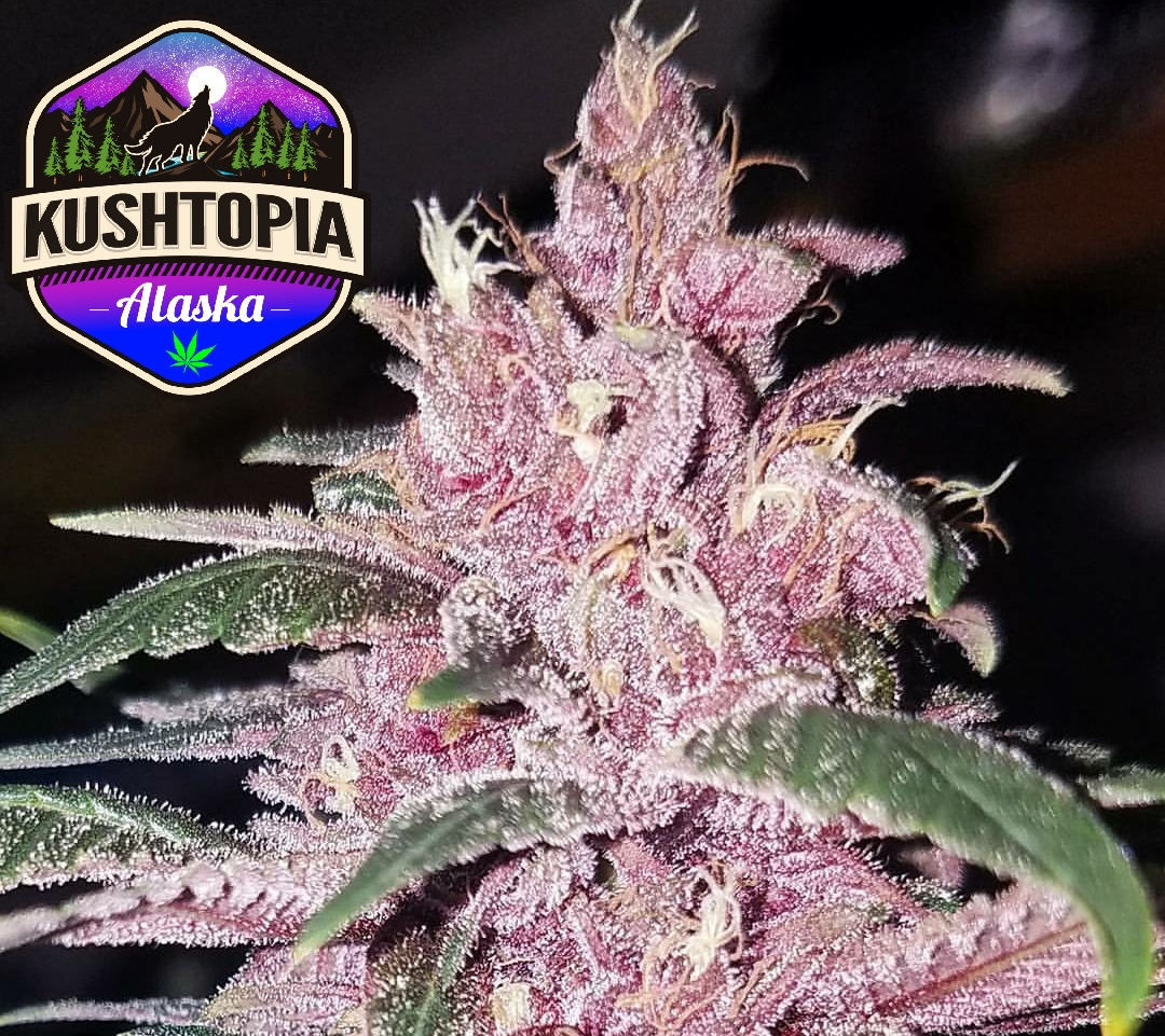 Pakistan Kush - 100% Indica LandracePakistan Hindu Kush, the pictures speak for themselves with this one. The Pheno hunt with this strain has taken place for multiple years at KushTopia. We have crossed this plant with Cookies and Cream and Tangie creating Our Pakistan Cookies Kush and Kunar Valley Kush.