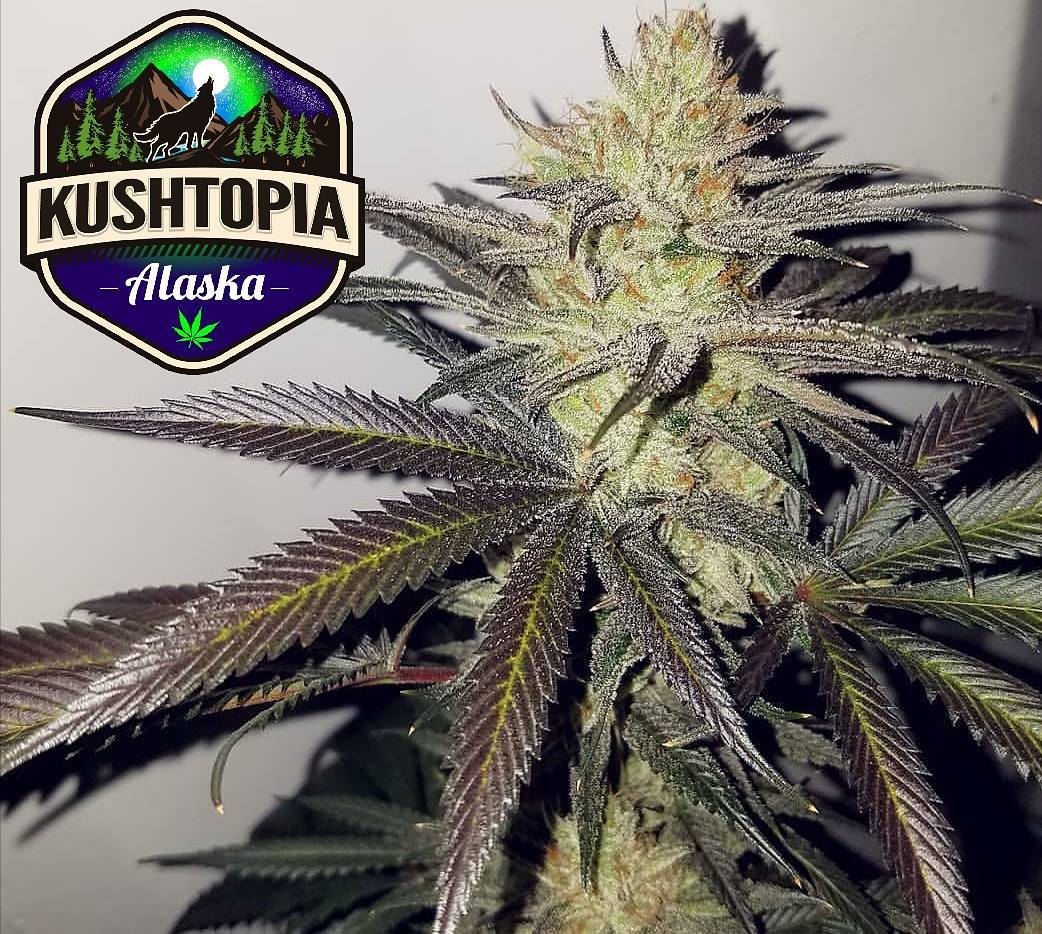 Clones - Clones-Want to skip the step of finding great phenotypes? We have you covered, 20%+ THC, High Terp Strains Available for Preorder at The OutPost.