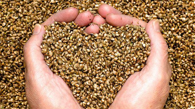 hemp seeds held by woman hands shaping a heart.jpg