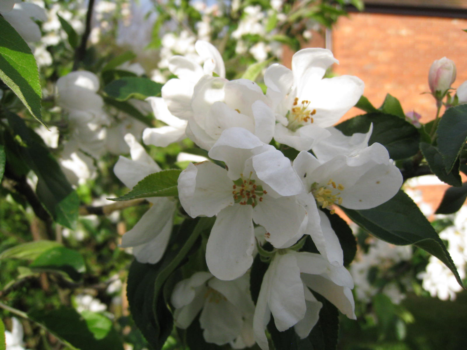 The spectacular white flowers of  Malus  'John Downie'  (Gillian Goodson Designs)