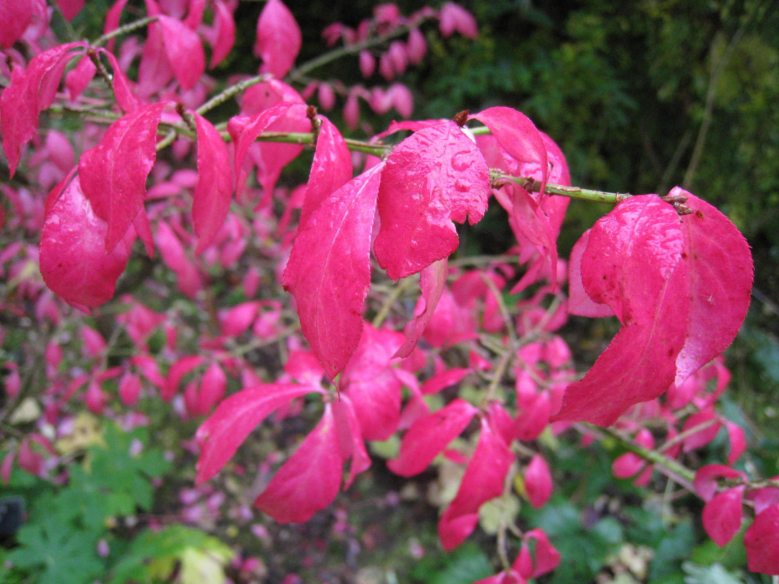 Euonymus alatus  - spectacular autumn colour  (Gillian Goodson Designs)