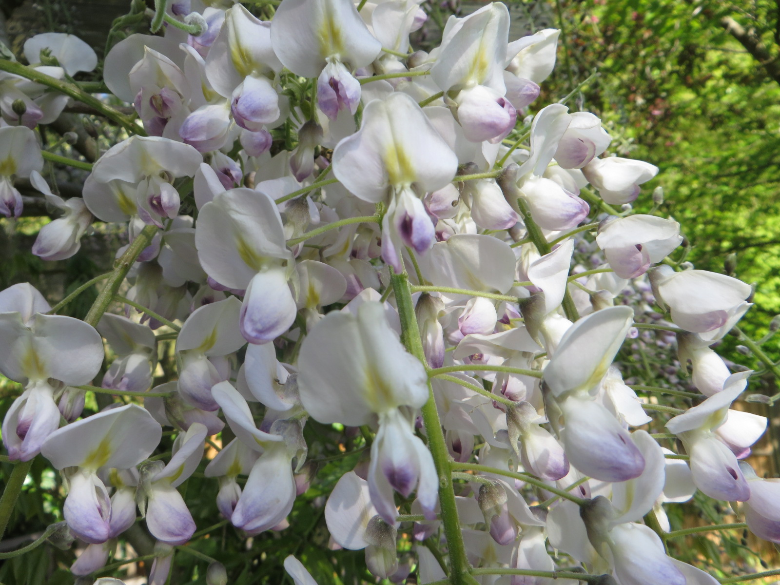 Wisteria floribunda  'Kuchi-beni' (aka W. 'Peaches and Cream')  (Gillian Goodson Designs)