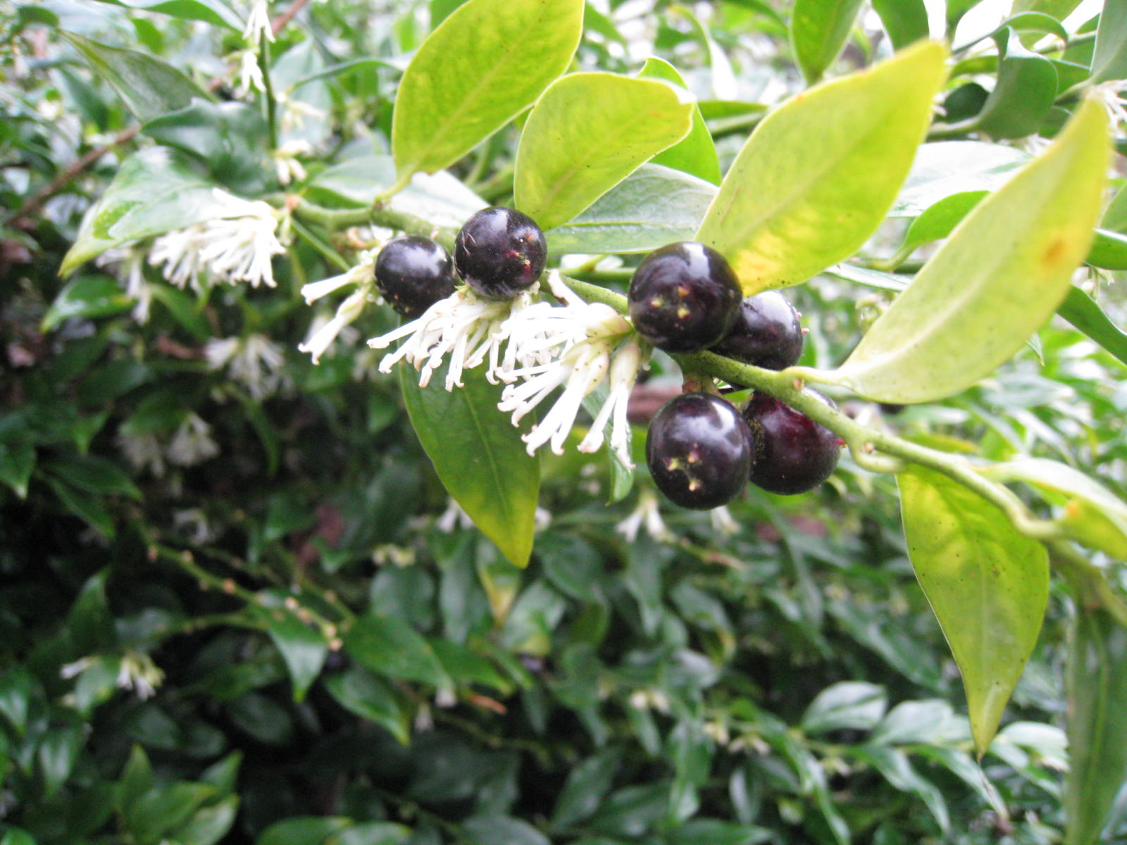 Deliciously scented white flowers and glossy black berries of  Sarcococca confusa (Gillian Goodson Designs)