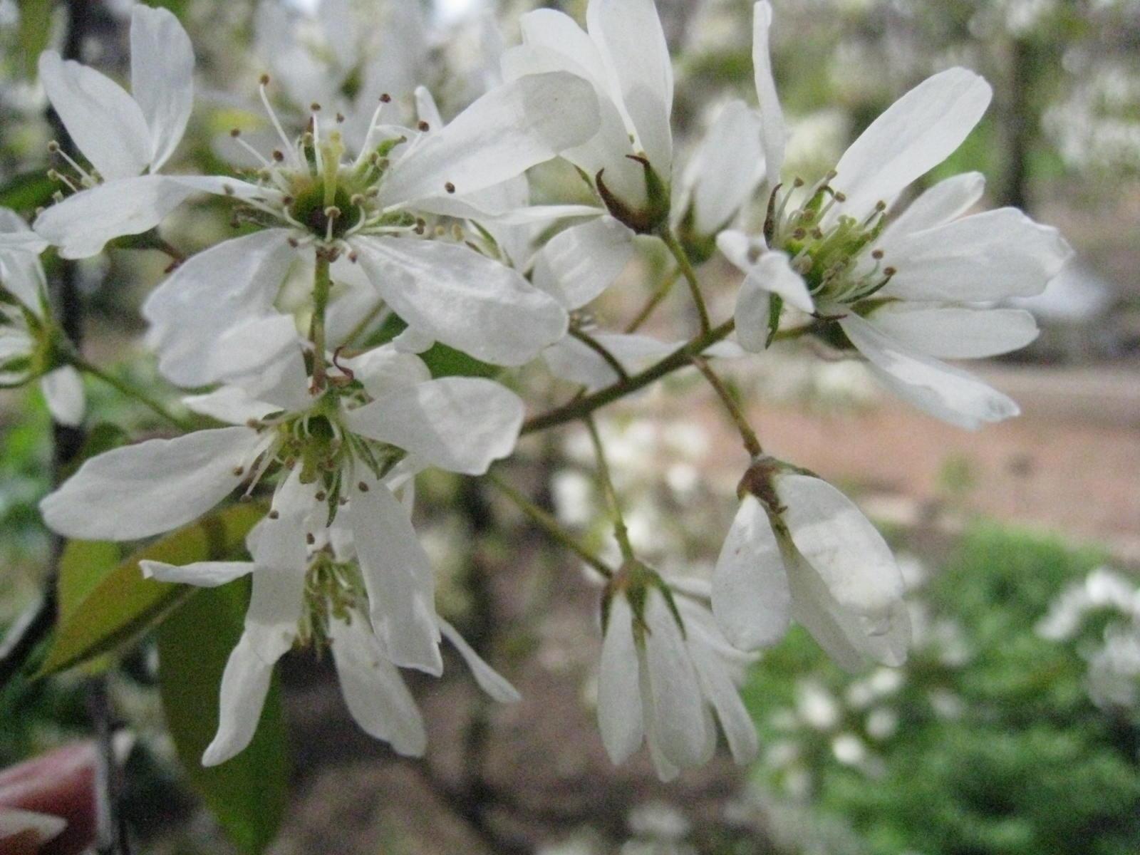 Delicate white flowers of  Amelanchier lamarckii (Gillian Goodson Designs)