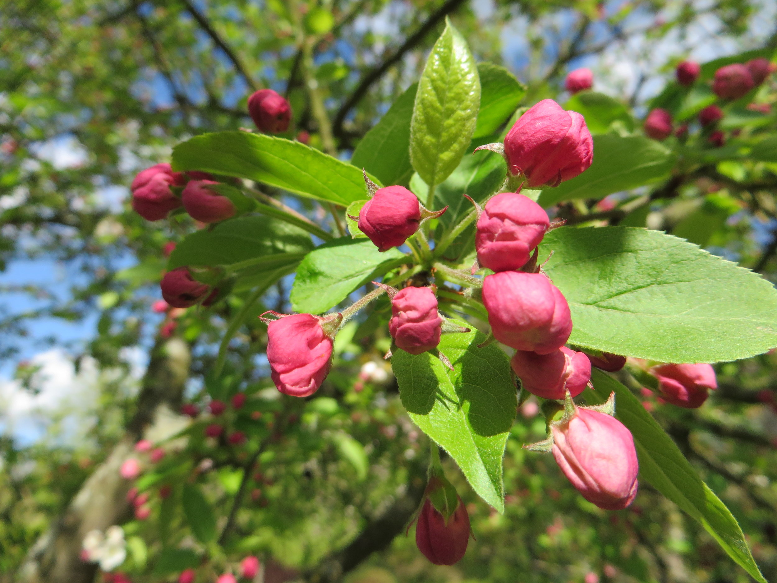 Deep pink buds of  Malus  'Evereste' (crab apple)  (Gillian Goodson Designs)
