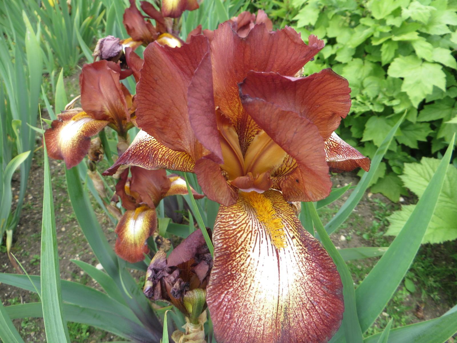 Iris 'Kent Pride'  – unexpected copper tones  (Gillian Goodson Designs)