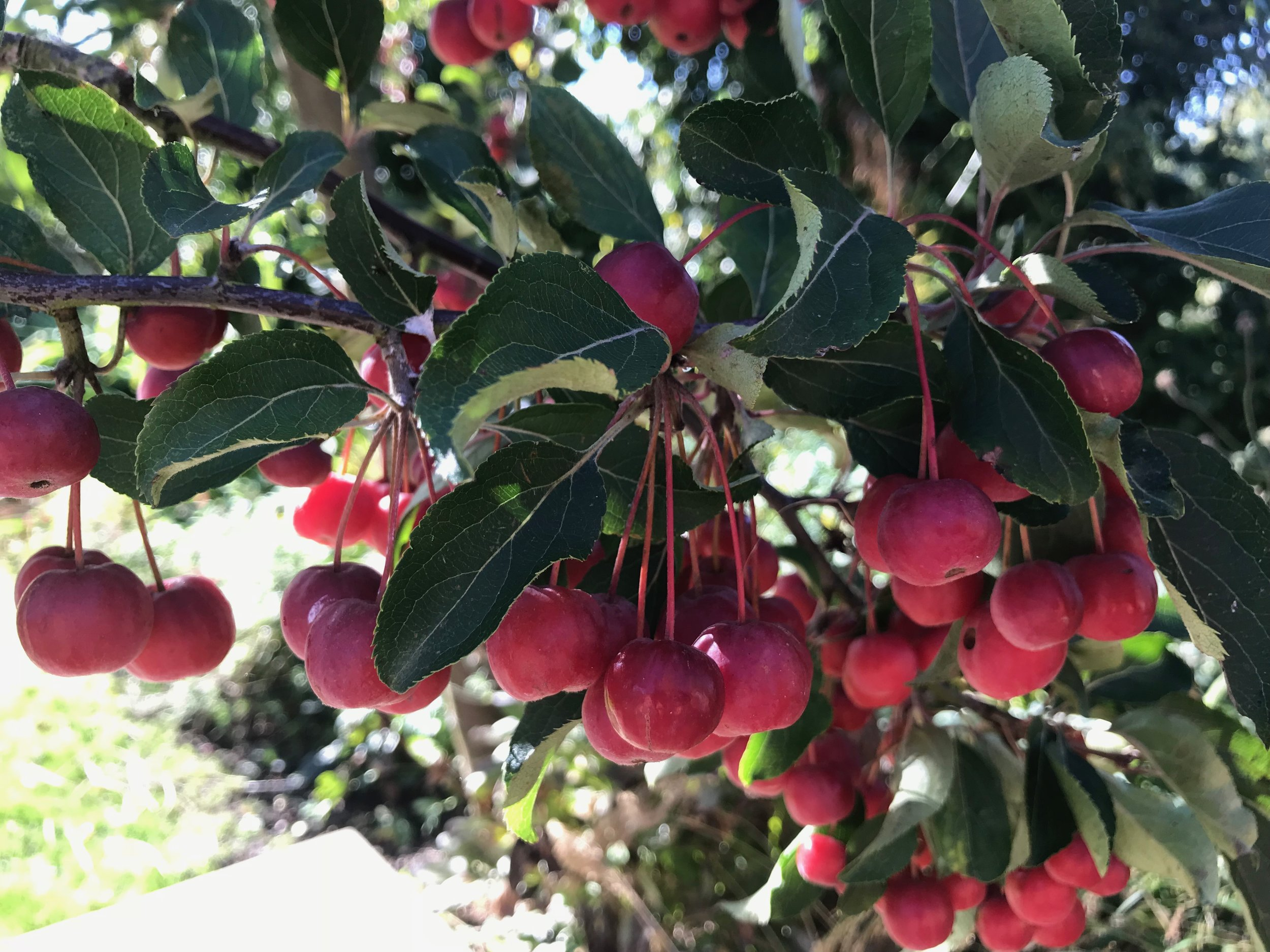 Cherry red fruit of  Malus x robusta  'Red Sentinel' (Gillian Goodson Designs)