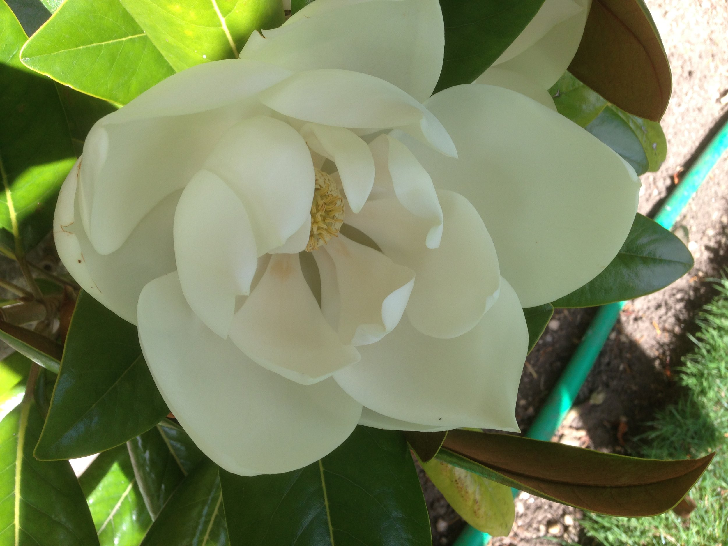 The bowl-shaped flowers of  Magnolia grandiflora (Gillian Goodson Designs)