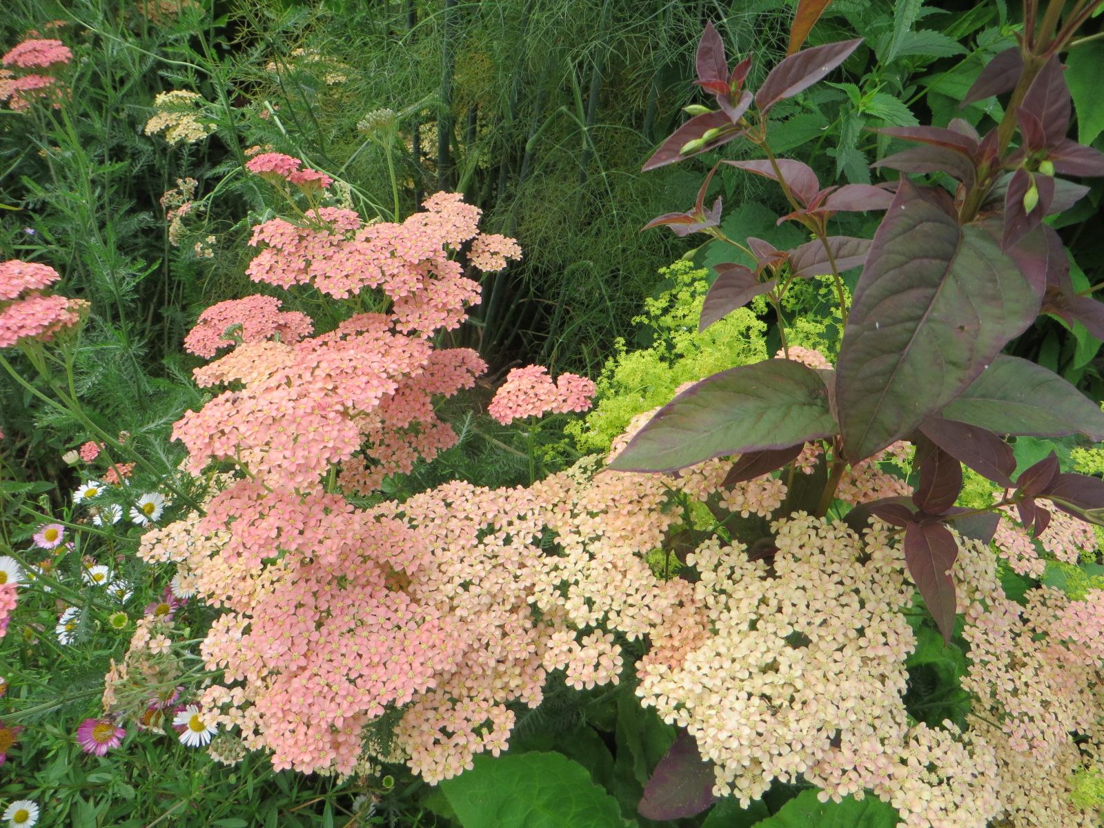 Hydrangea serrata (Gillian Goodson Designs)