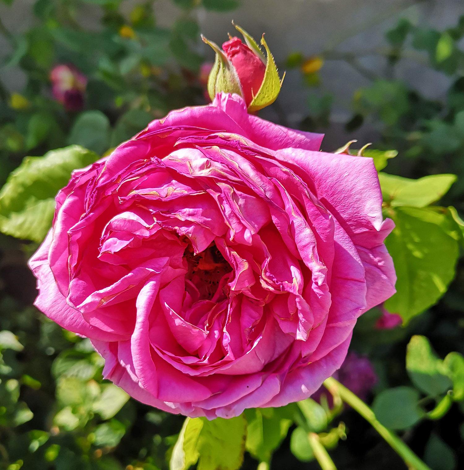 Abbotsford gardens deep pink rose.jpg