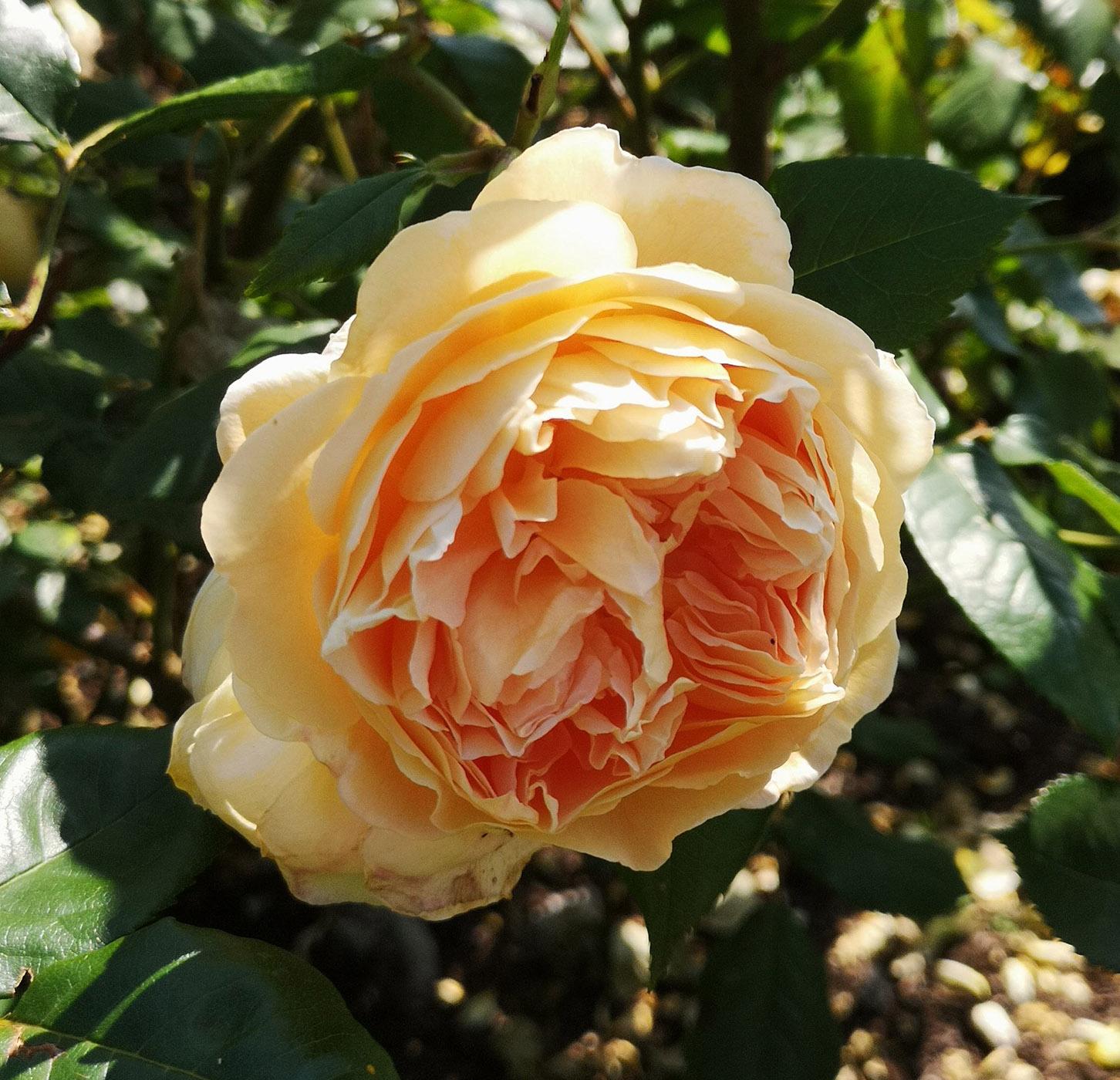 Abbotsford gardens peachy yellow rose.jpg