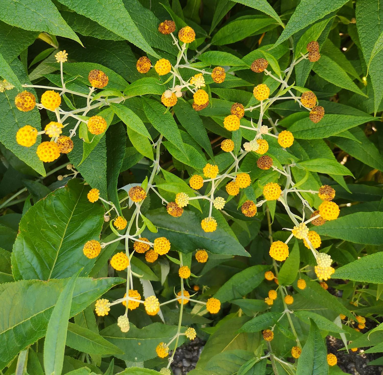 Abbotsford gardens yellow pom pom flowers.jpg