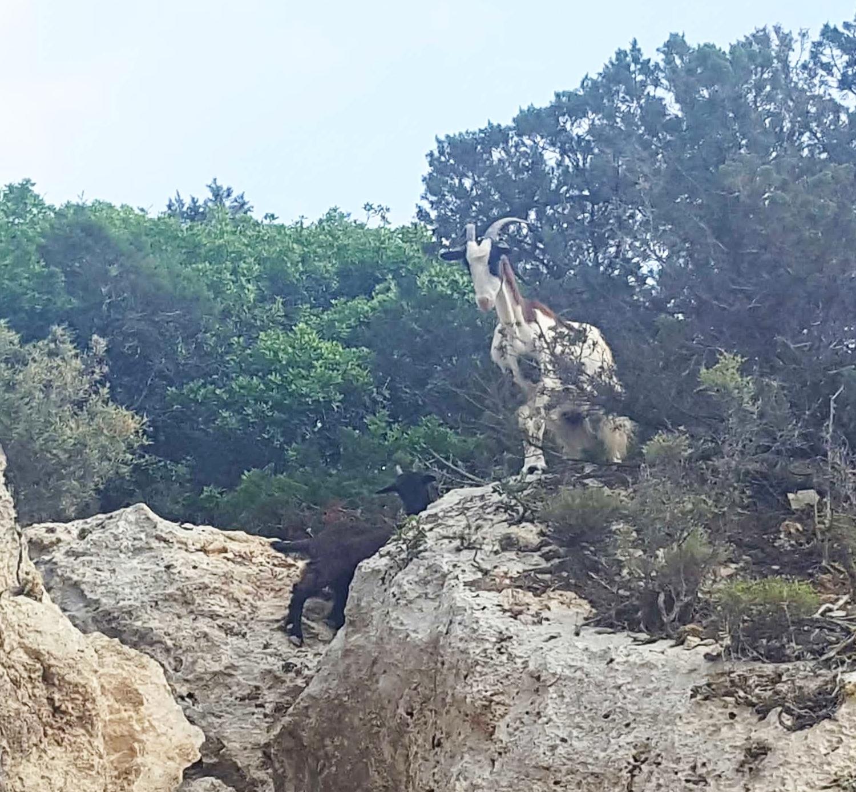 Heraion Goats.jpg