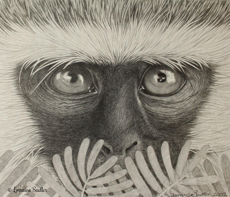 Vervet Monkey Study (5.5 x 4.5 inches) £200