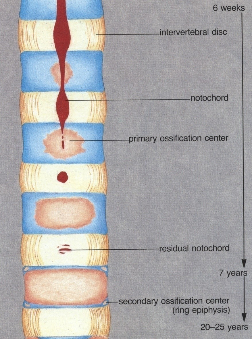 Progression of notochord as spinal column forms.