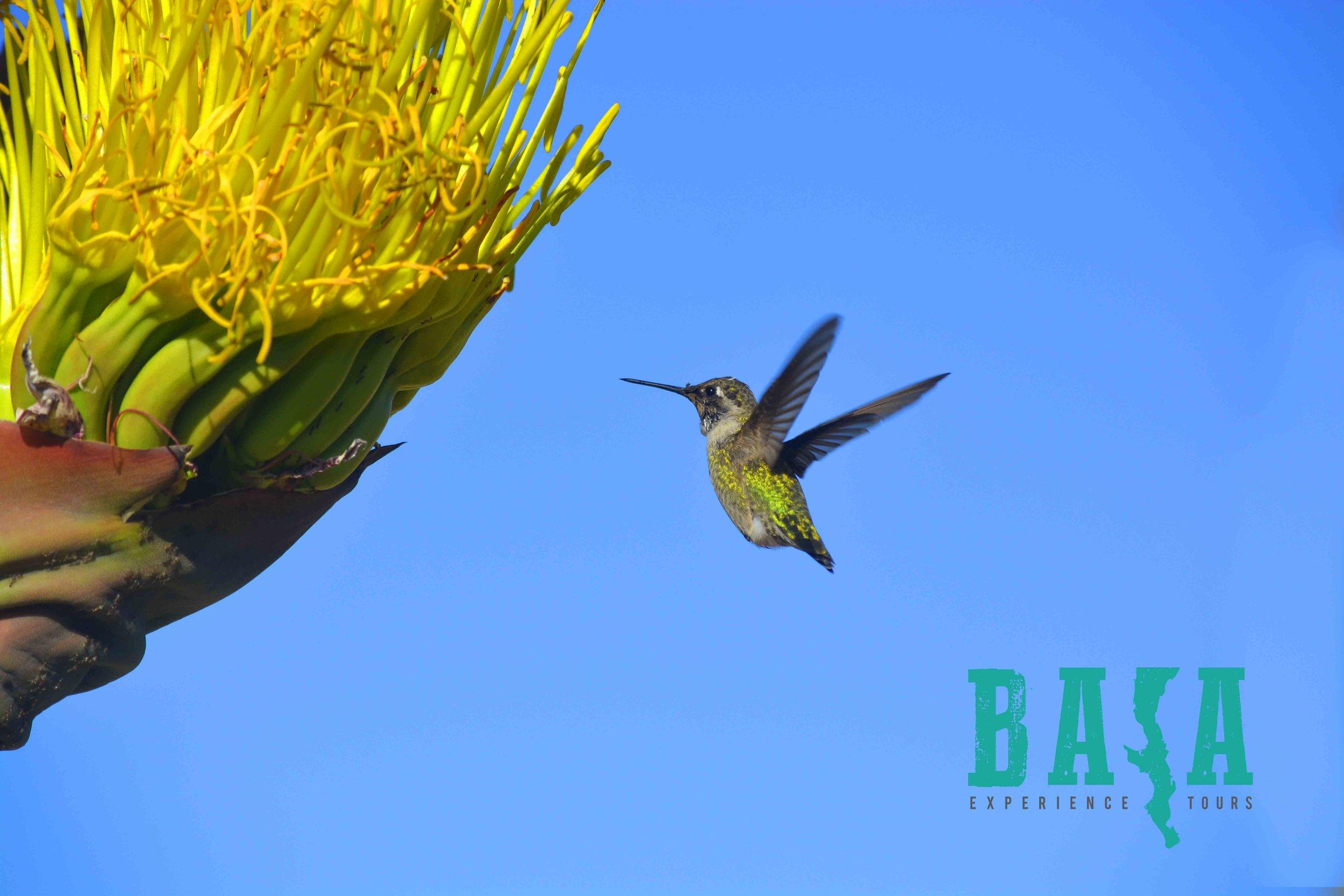 baja_hummingbird_cactus.jpg