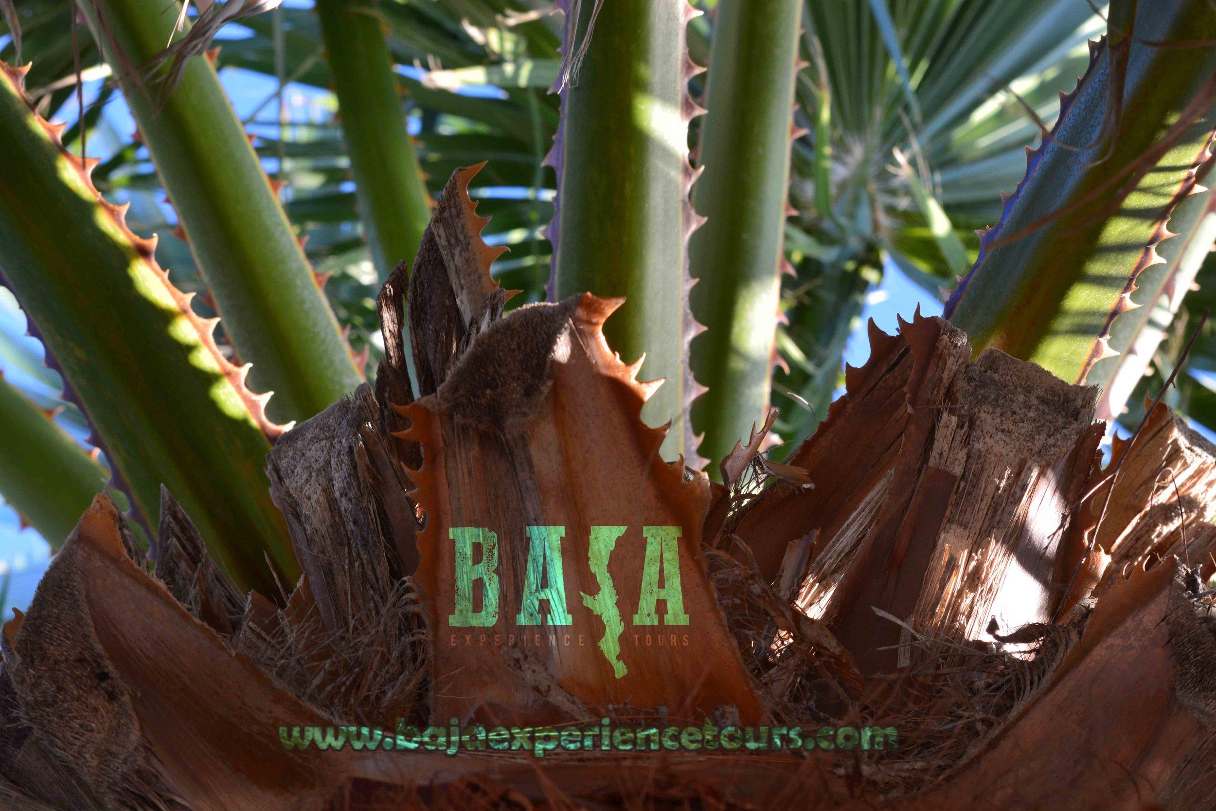 fan_palm_baja.jpg