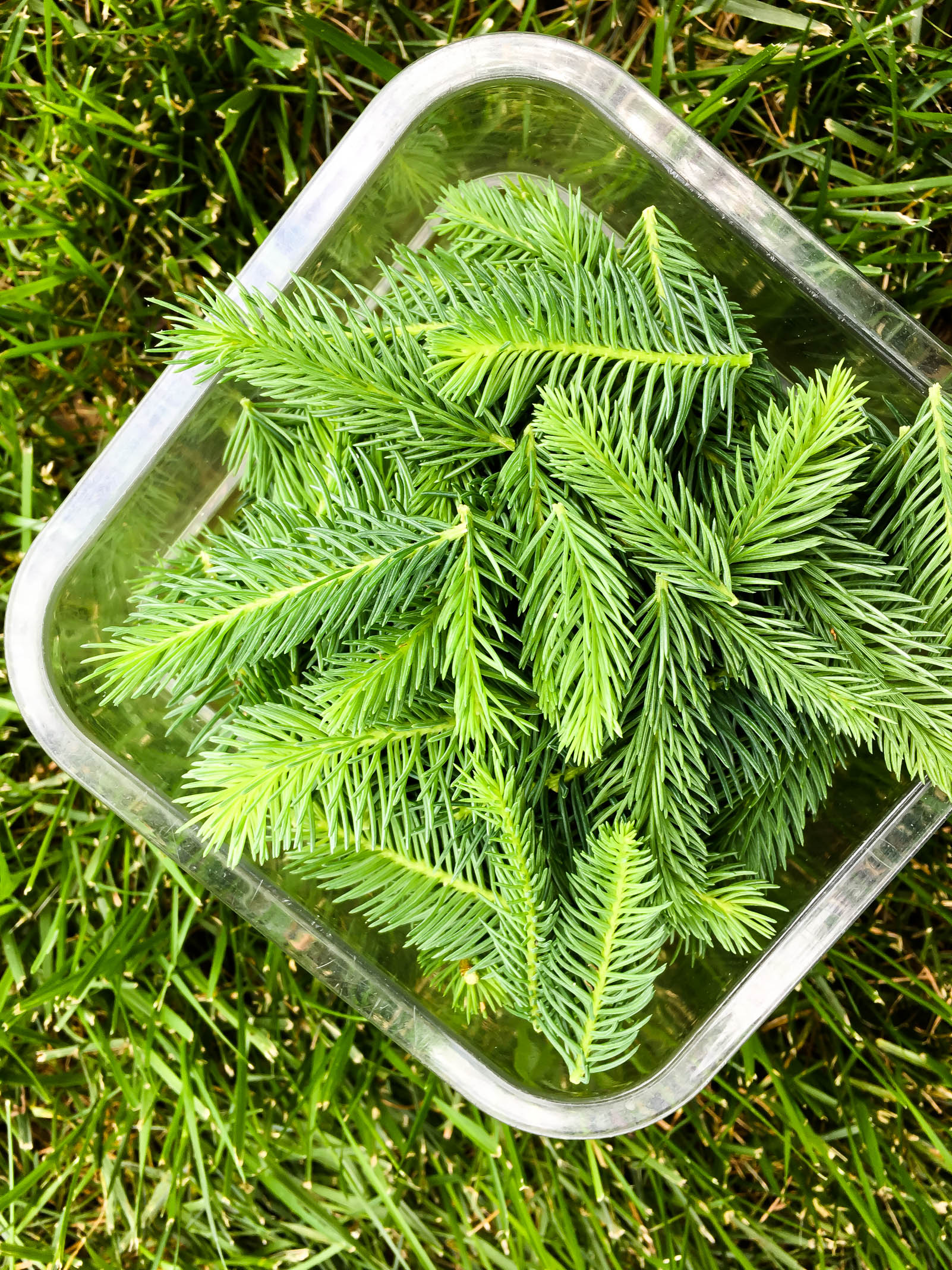 spruce tips from the farm