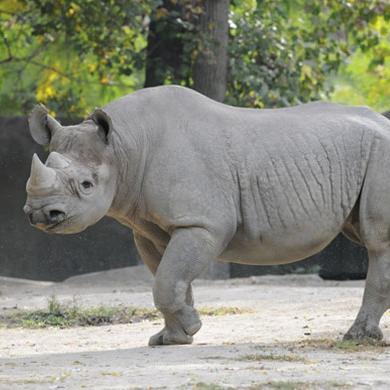 Black-Rhino_560x390.jpg.jpg