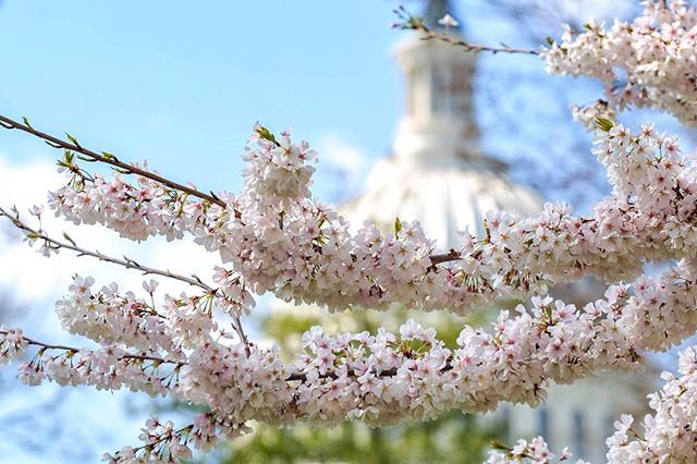 Budding blossoms @uscapitol 'Tis the season 🌸 to @visitwashingtondc