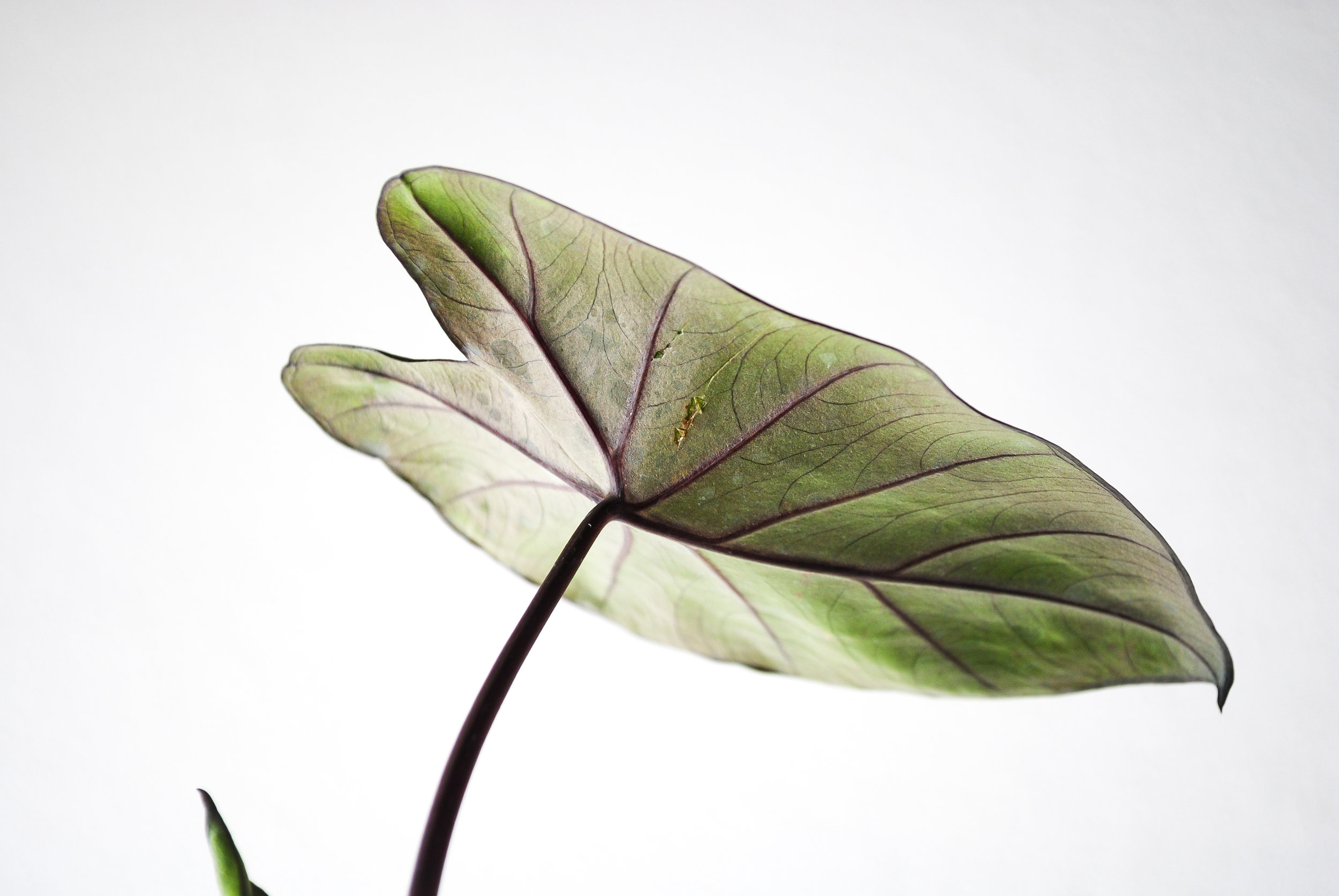 Underside of the Colocasia esculenta 'Fontanesii'.