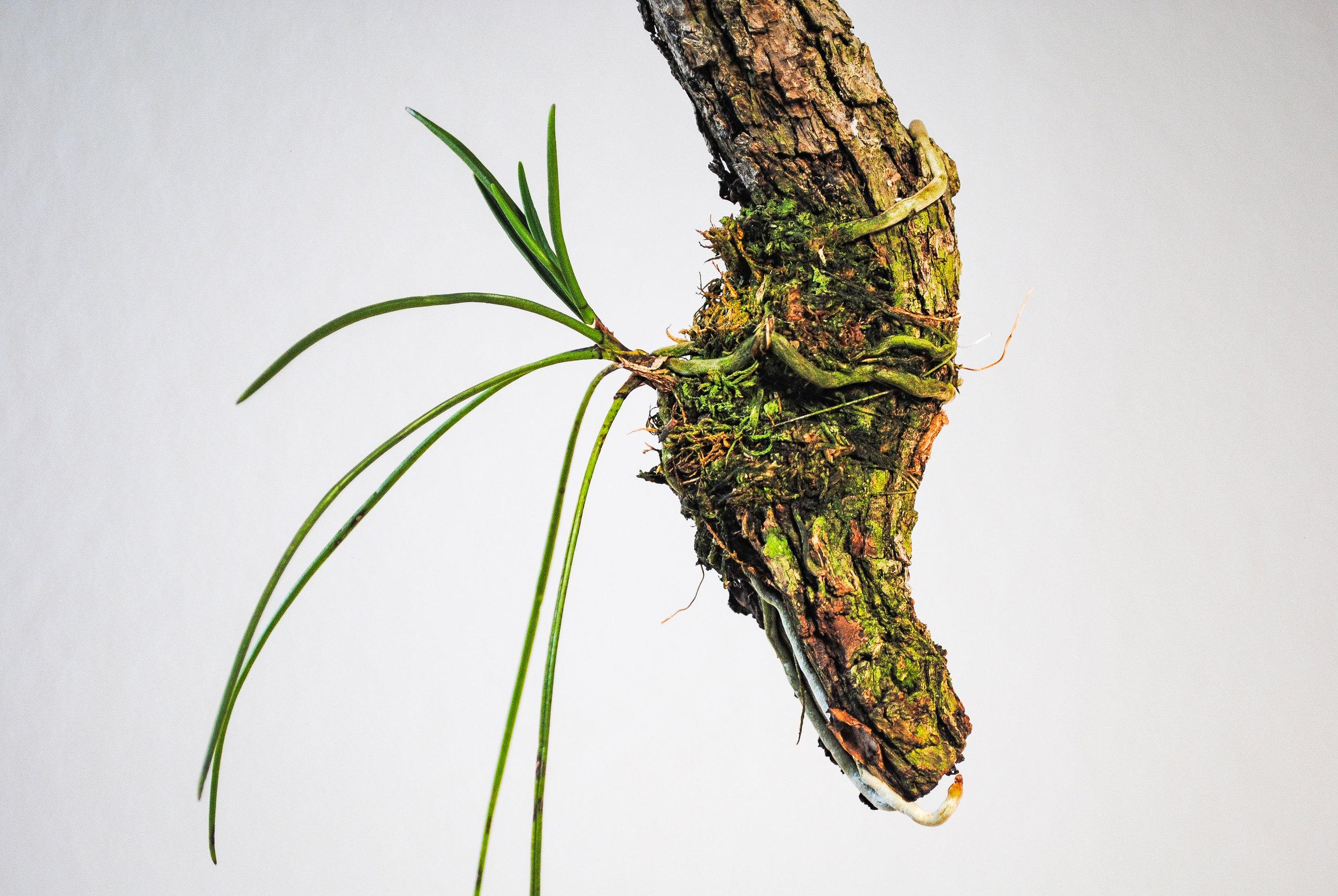 Holcoglossum quasipinifolium