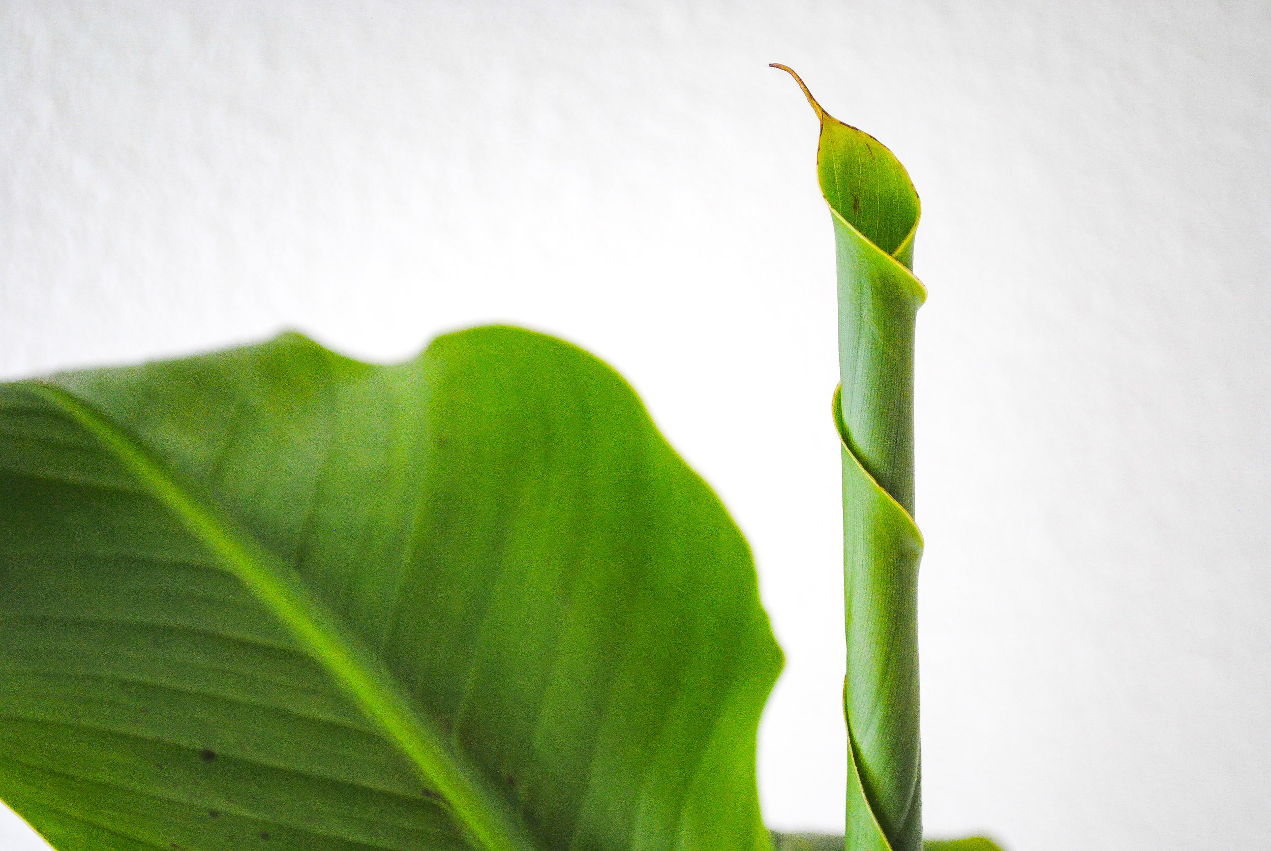 Unfurling leaf on the M. basjoo