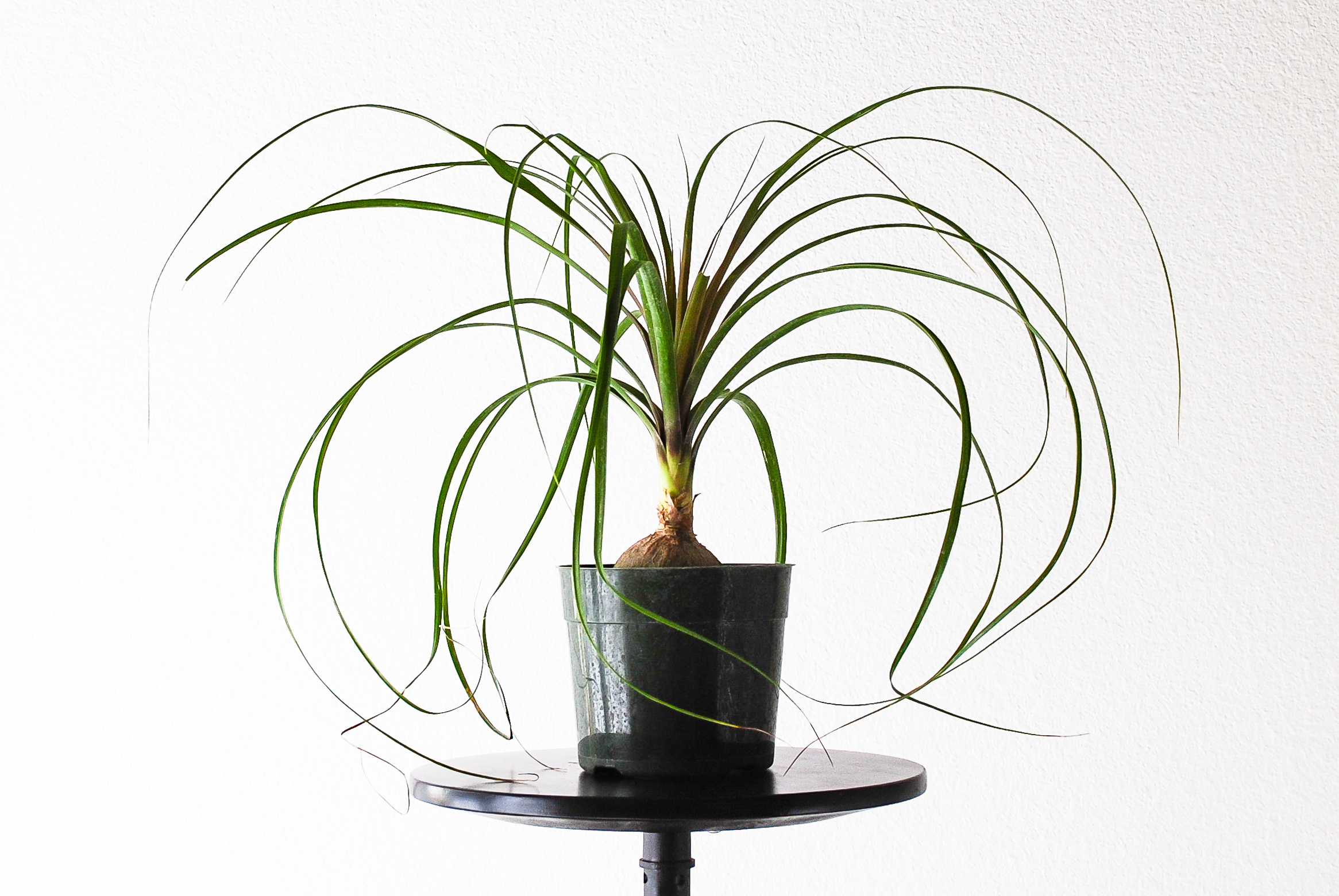 Beaucarnea recurvata or 'Ponytail Palm'.