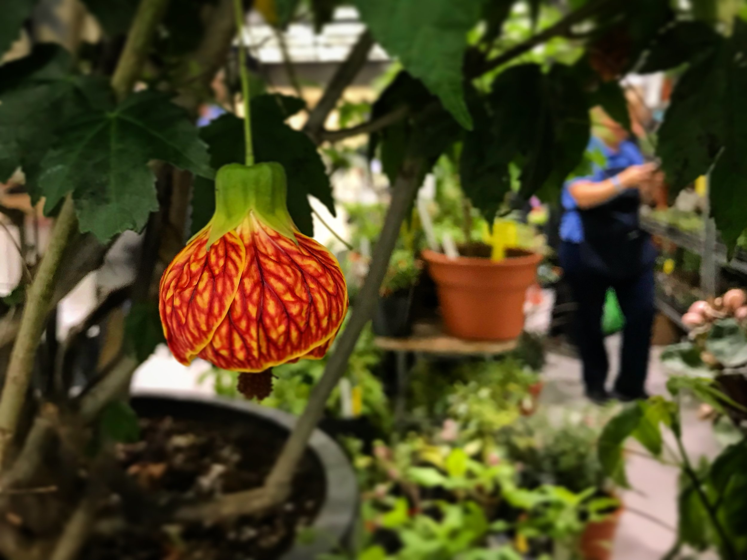 The unique blooms of the Abutilon 'Red Tiger'.