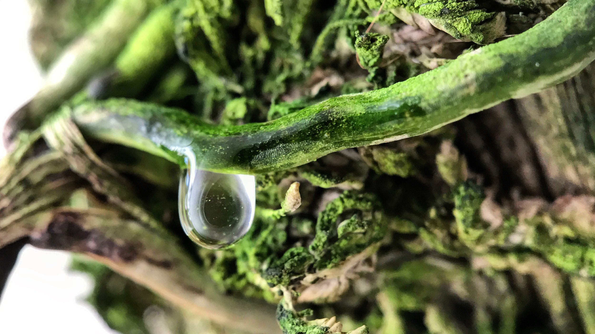 Macro image of a waterdrop being absorbed by a mounted Holcoglossum wangii.