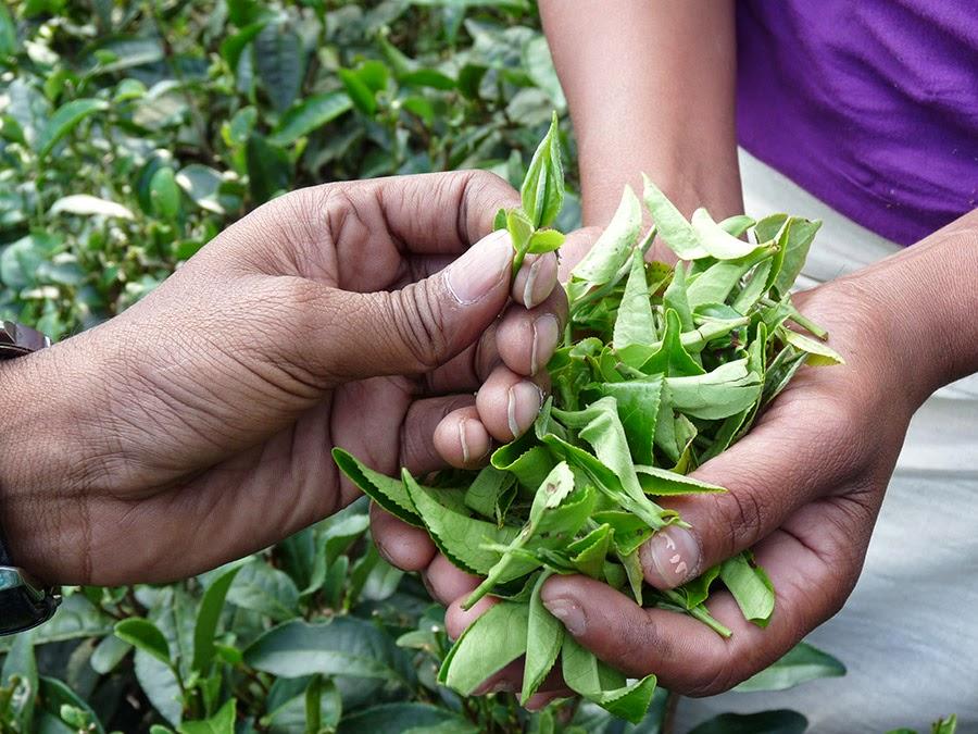 I'M T by The House of Aran, Luxury Organic Tea