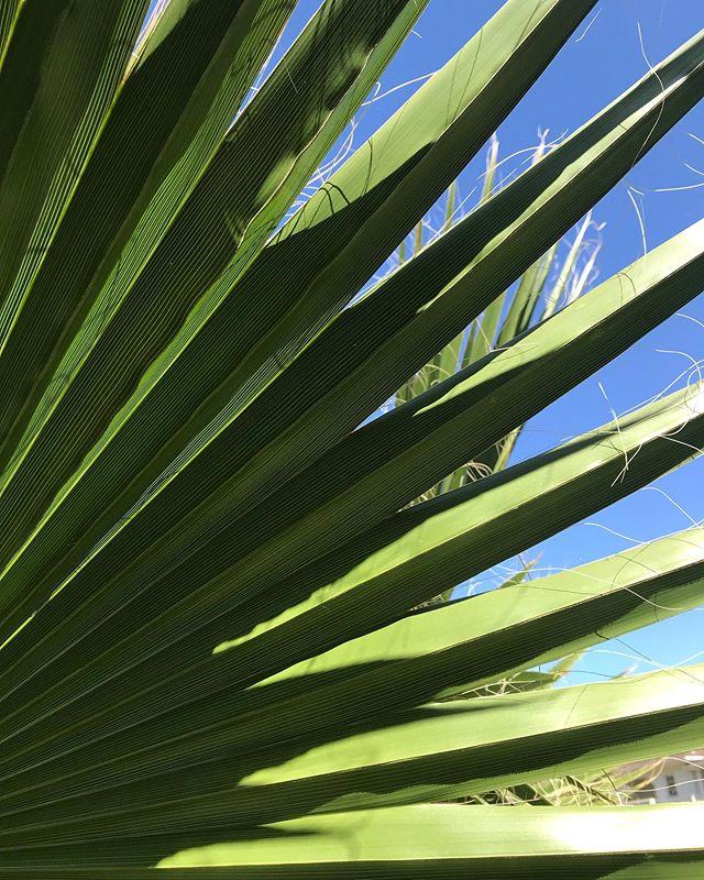 Fan palm.  #plantsmakepeoplehappy  #verdurouswomen  #designinspiration