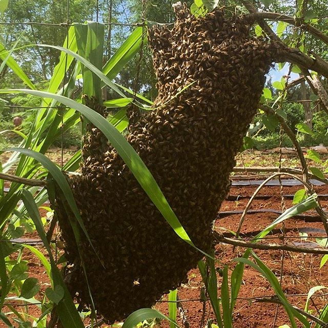Our bee swarm we are going to try to catch!  #bees #organicfarming #beesarelife #womenwhofarm #swarm #permaculture #lovepeoplegrowthemfood #risingsunorganicfarm #luckywelivekauai
