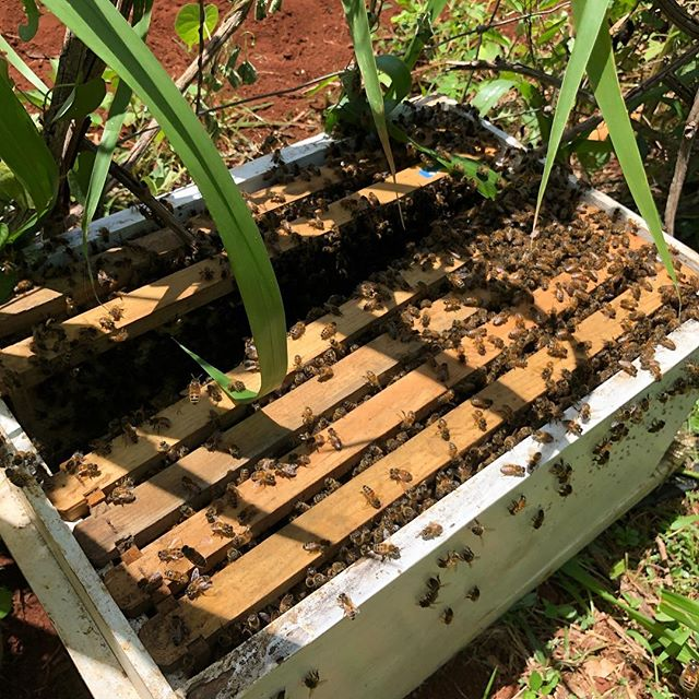 Update from yesterday!  We did it!  Queen is in and bees are settling into their new home!  #bees #swarm #womenwhofarm #risingsunorganicfarm #lovepeoplegrowthemfood #permaculture #beesarethebest #luckywelivekauai