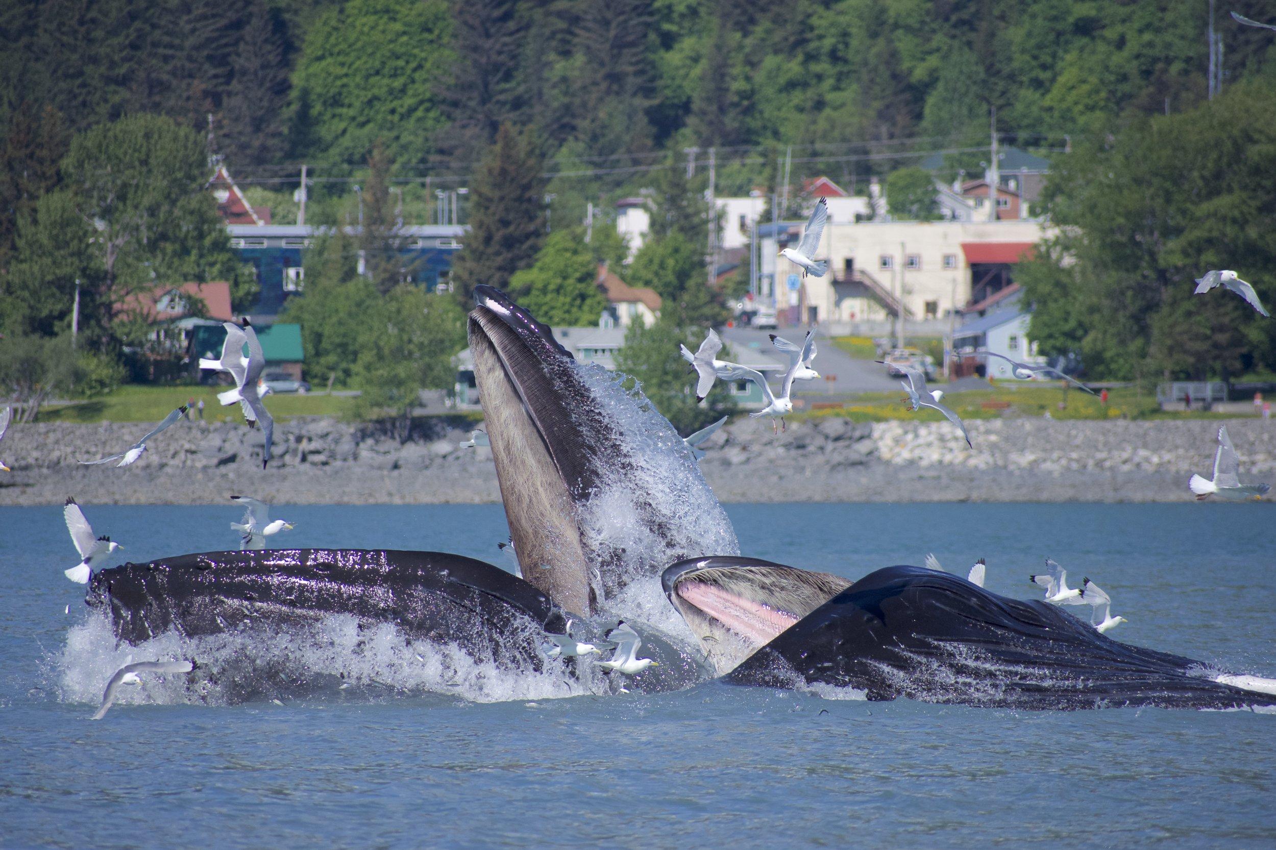 A pod of humpbacks bubble feeding in the bay.