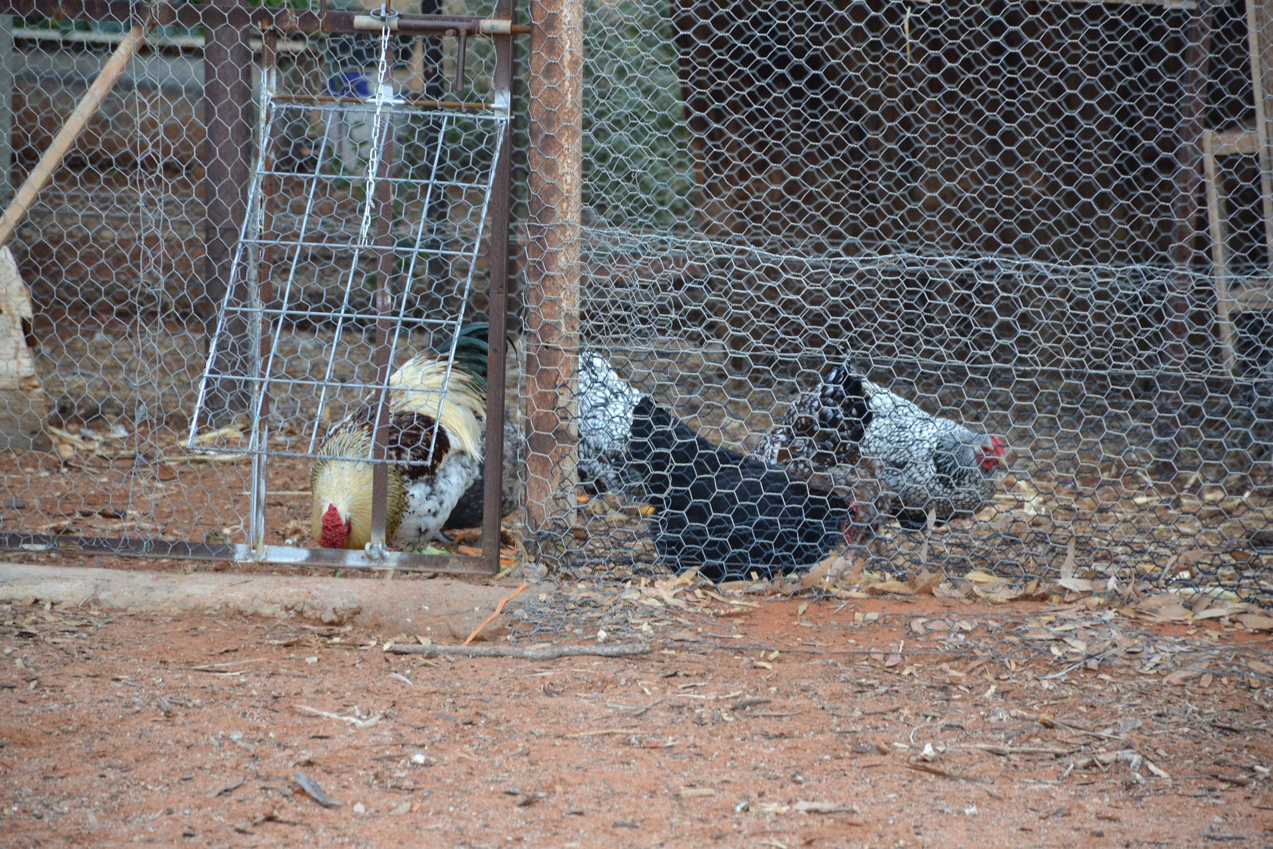 023 Good morning rooster.JPG