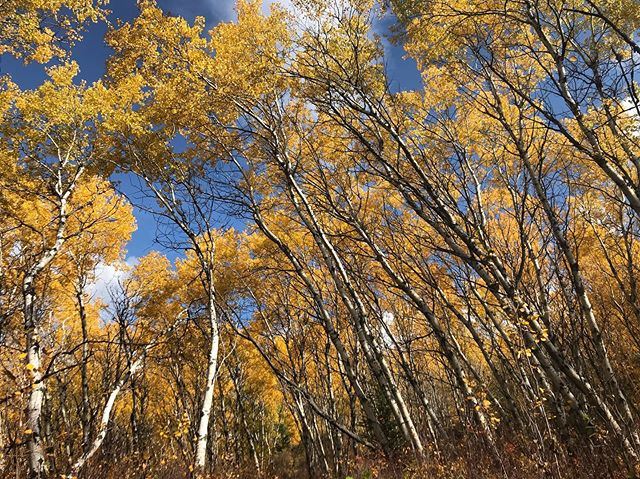 """""""Flung is too harsh a word for the rush of the world. Blown is more like it, but blown by a generous, unending breath."""" - Annie Dillard, Pilgrim at Tinker Creek 🧡 . . . #writingbreak #birch #autumn #womenwhowrite #anniedillard #peacecountry #tangerine #change #gametrails #lettinggo #getoutside #boreal #nature #explore #witness"""