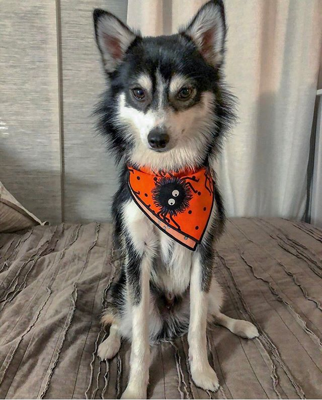 🕷SPIDERS🕷 See, @odin_the_city_pomsky isn't scared. Our furry spiders bandana is selling FAST! There are still a few left! 🕸