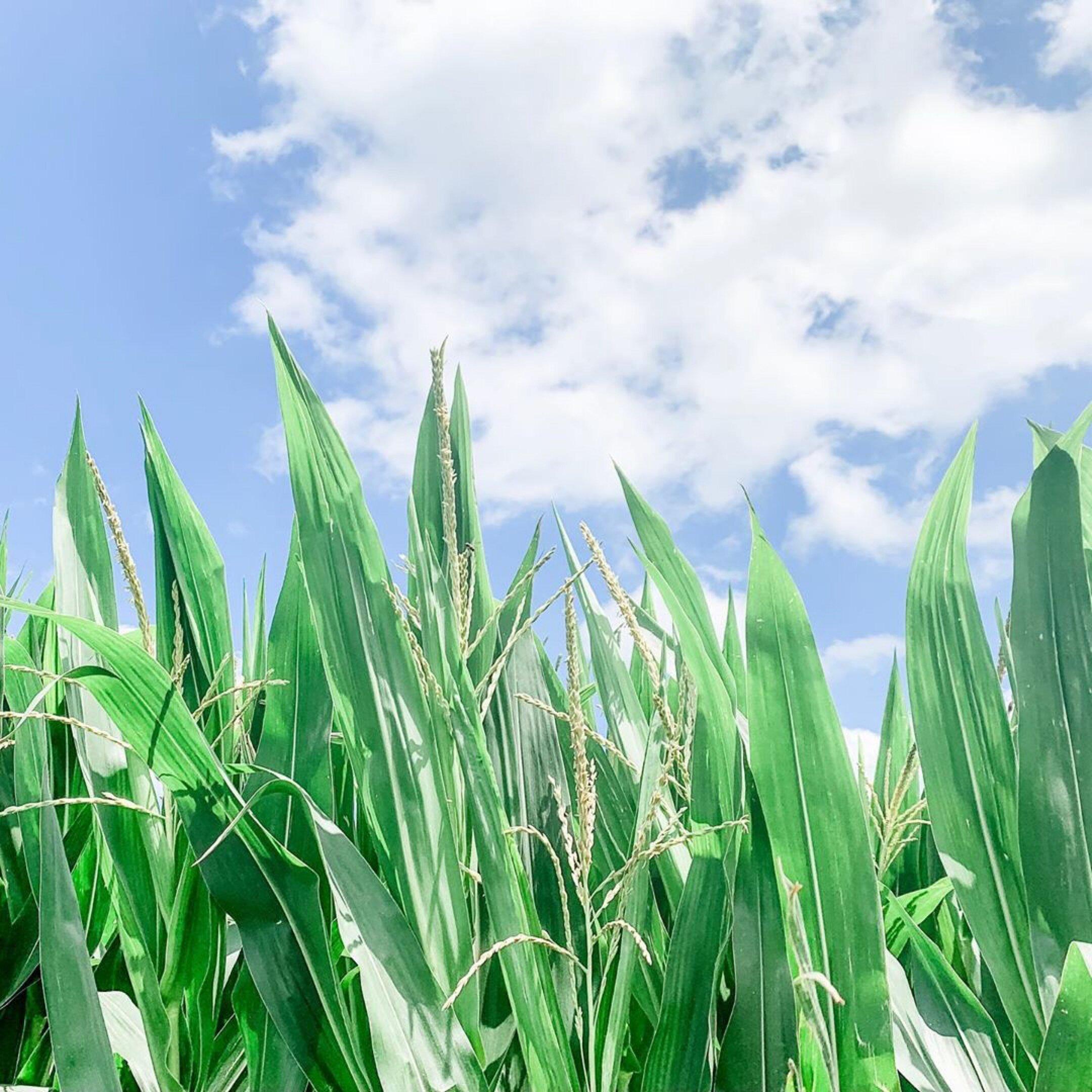 kevin sara ross iowa corn.JPG