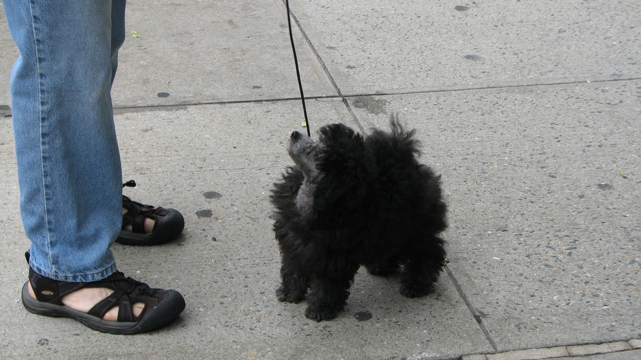 Toy poodle training in nyc.