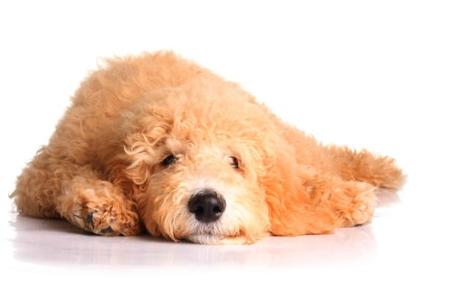 Best dog training classes for labradoodles in NYC.