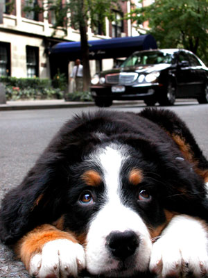 bernese-mountain-dog-training-nyc