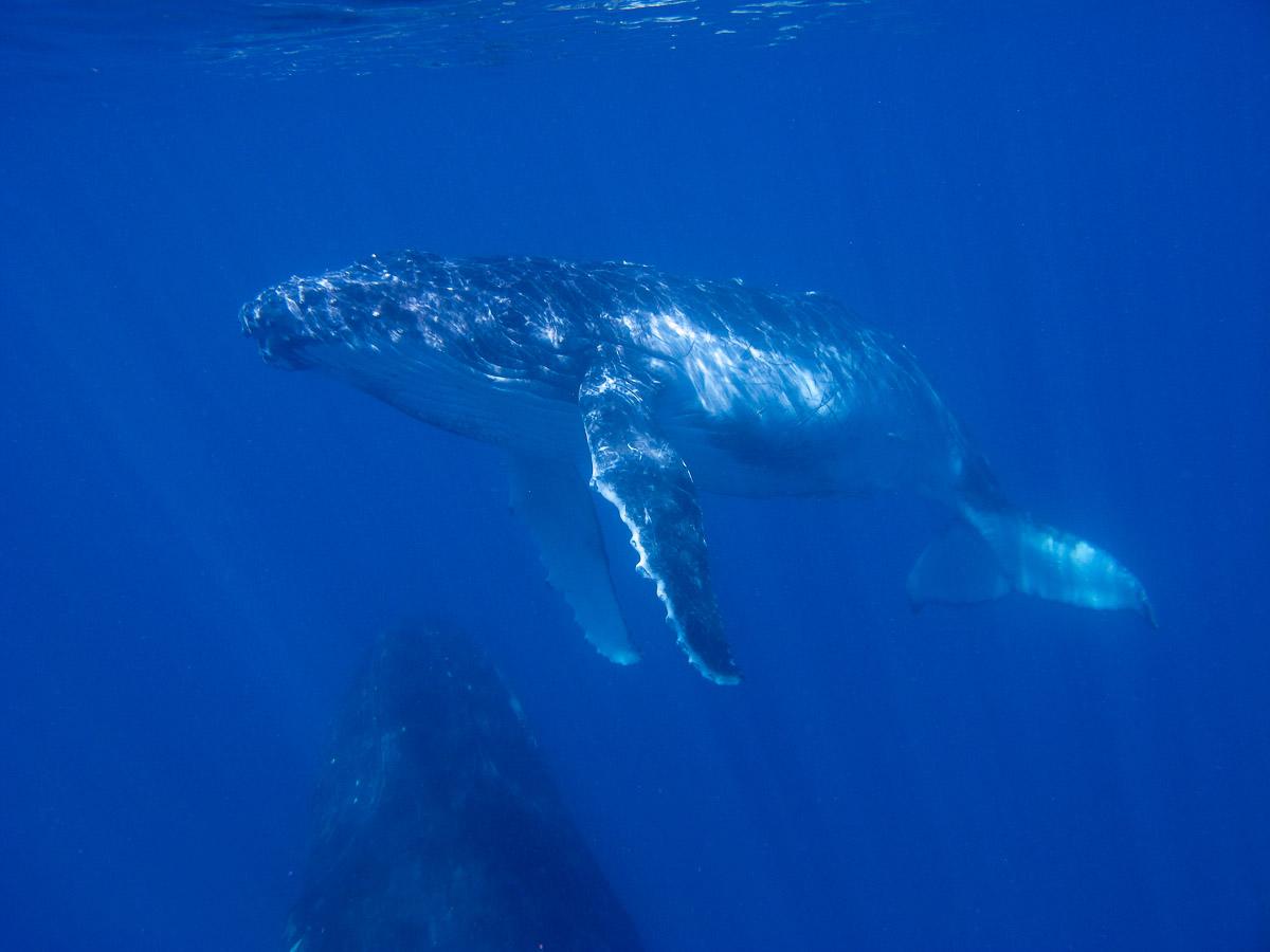 Humpback Whales.