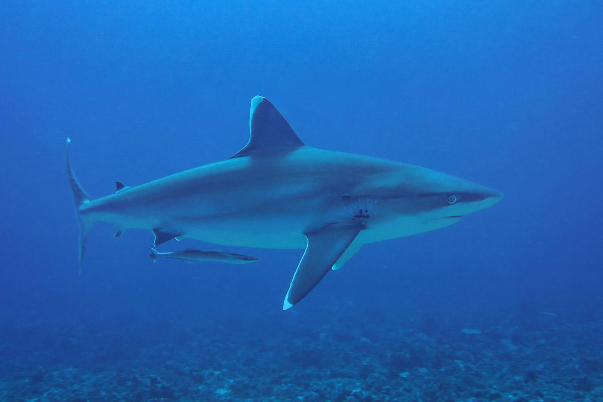 Silvertip Shark.