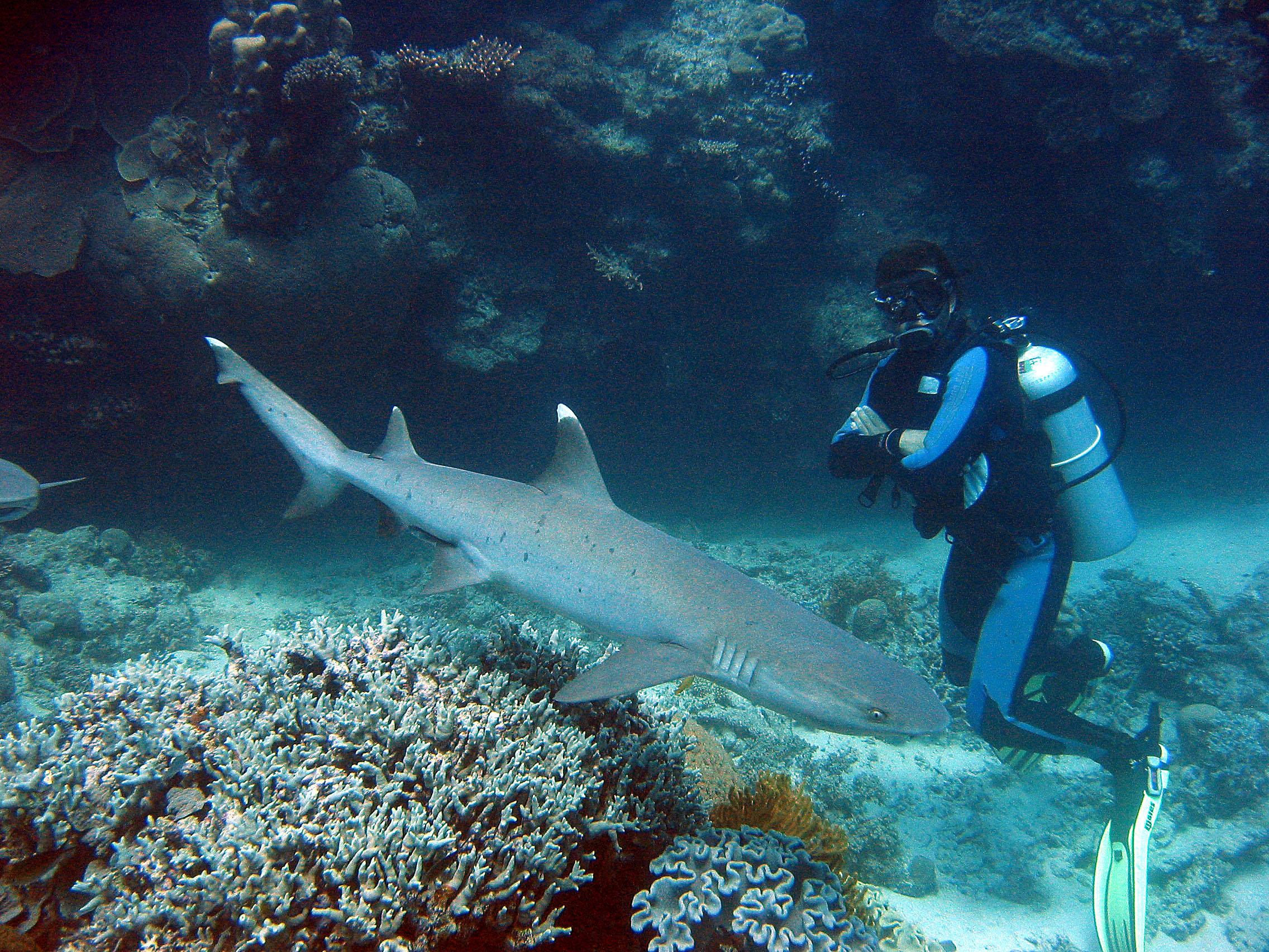 Whitetip Reef Shark.