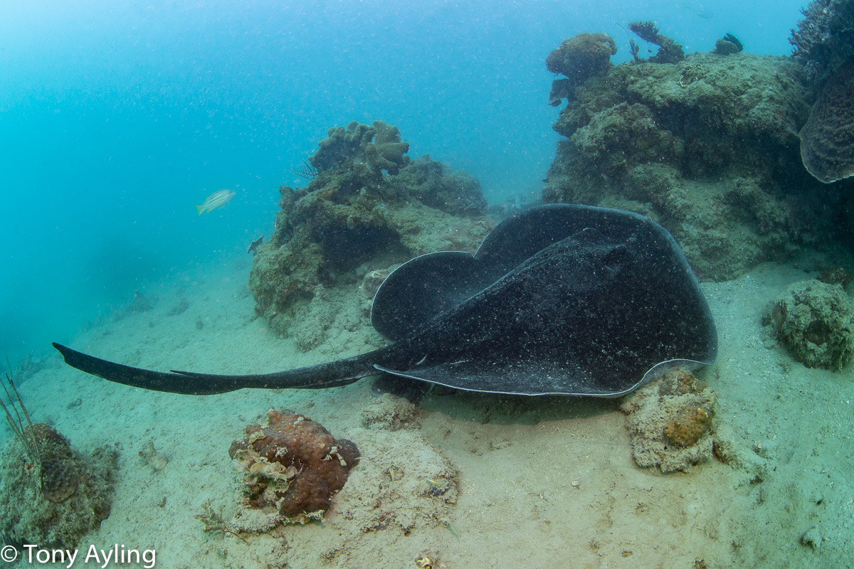 Large blotched fantail ray.