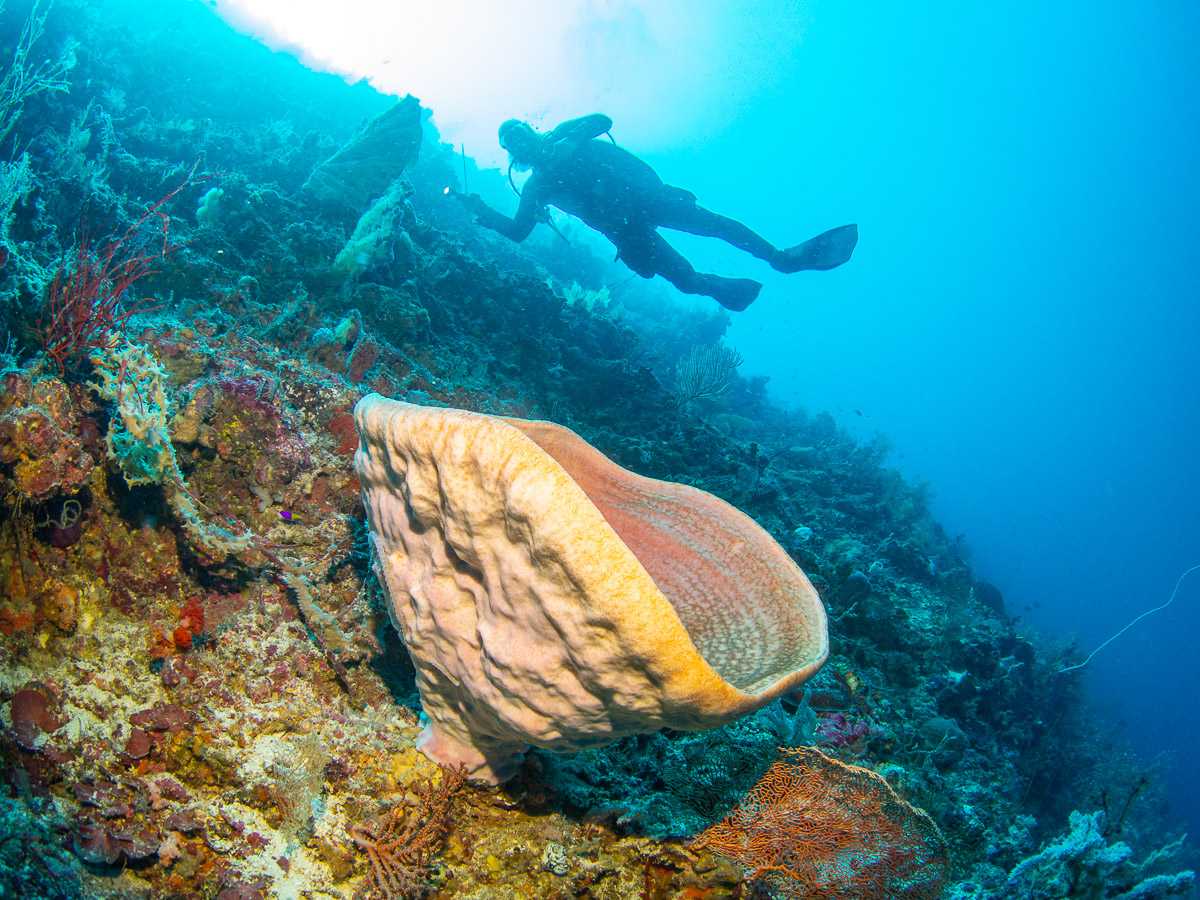 Large bowl sponge on the deep reef of Atauro Island