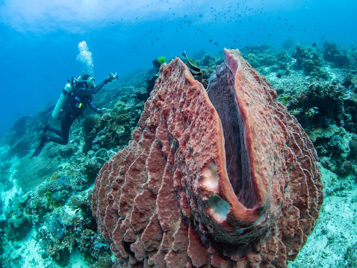Avril photographs a huge volcano sponge  Xestospongia exigua  on the Atauro Island reef