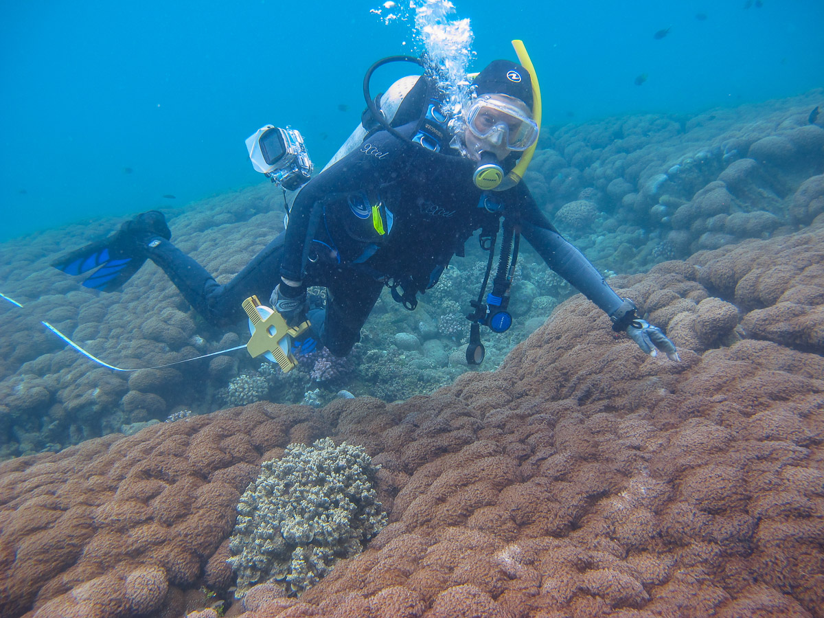 Large colony of  Goniopora  coral at Vemasse on the north coast of Timor-Leste